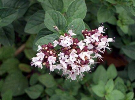 Flor y Hoja de Orégano Nacional