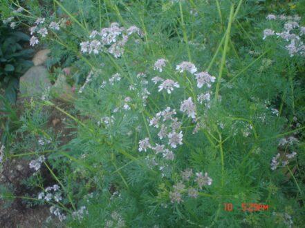 Planta Cilantro
