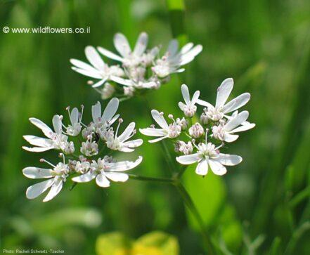 Flor de Cilantro