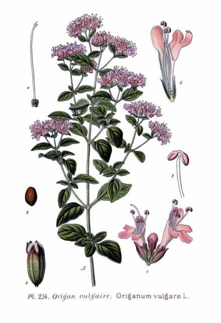 Planta de Orégano Nacional