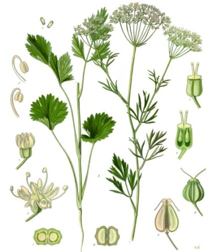 Flor Seca del Anís Verde