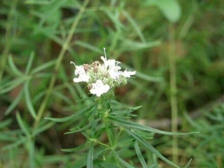 Flor de Estragón
