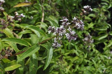 Planta verde de Hierba Luisa