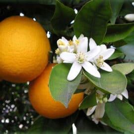Naranjo – Azahar