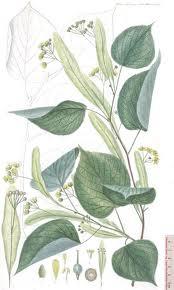 Planta del Tilo