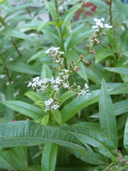 Hojas y flores de Hierba Luisa