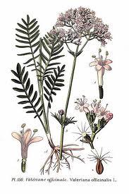 Planta Seca de Valeriana