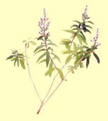 Planta seca de Hierba Luisa