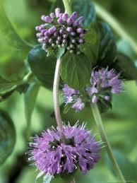 Flor de Poleo