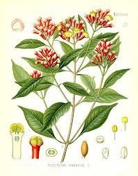 Flores y Hojas del Clavo