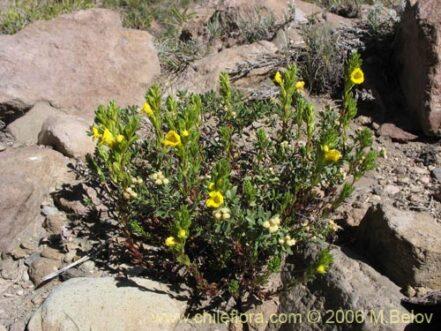 Planta de Eufrasia