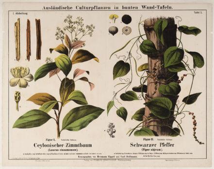 Descripción Planta Canela Molida