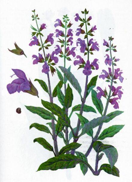 Salvia-1081